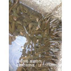 养殖蚂蟥_扬州市扬杨水蛭养殖_蚂蟥图片