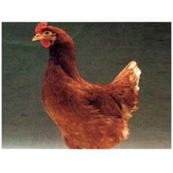 华帅青年鸡(图),海兰褐鸡苗供应,辽源海兰褐鸡苗图片