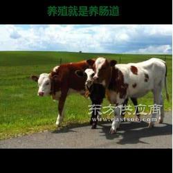 喂牛益生菌促生长剂丨老牛用益生菌图片
