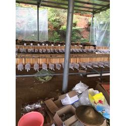 胡蜂-胡蜂养殖培训公司-吴氏养殖(优质商家)图片
