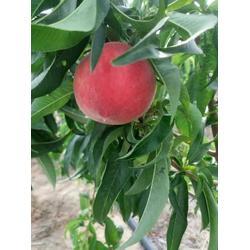 枣阳桃子基地(图) 吃油桃上火不 油桃图片