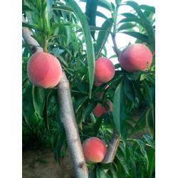 桃子、桃子代办、桃子图片