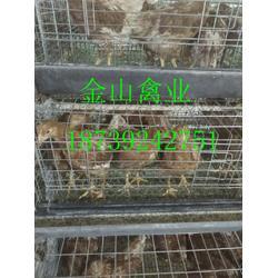 60天华裕青年鸡图片