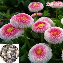 常夏石竹种子_快活林苗木_上海常夏石竹种子多少钱一斤图片