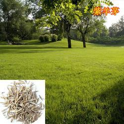 江苏草坪种子多少钱一斤,快活林苗木,草坪种子图片