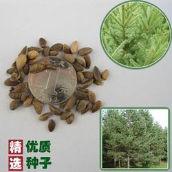 辣木籽种子哪儿买、辣木籽种子、快活林苗木(查看)图片