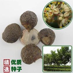 快活林苗木(图)|木荷种子哪儿买|木荷种子图片