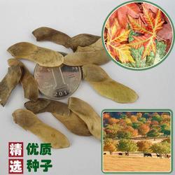 广玉兰种子,快活林苗木,广玉兰种子什么时候种图片