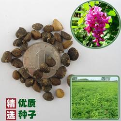 雪松种子、印度雪松种子、快活林苗木(优质商家)图片