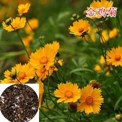 快活林苗木(图)、矢车菊种子、矢车菊种子图片