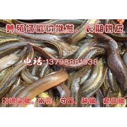 纯种台湾泥鳅水花纯种种鳅繁殖活体小幼苗包活供应图片
