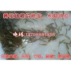 台湾泥鳅水花苗人工繁泥鳅苗 小苗 30元/万50万发货图片