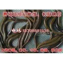 广元正宗台湾泥鳅种鰍母鳅怀卵量多品种纯个头大图片