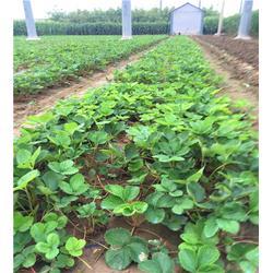 大地草莓苗多少钱,冷水江市大地草莓苗,海之情农业图片