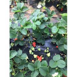 甜宝草莓苗、海之情、泉州市草莓苗图片