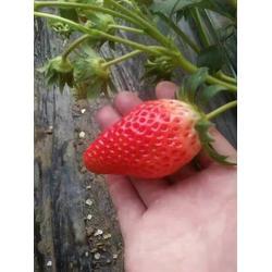 丰香草莓苗、优质丰香草莓苗、海之情农业(优质商家)图片