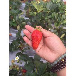 全明星草莓苗,全明星草莓苗种植基地,海之情农业图片