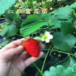 草莓苗、海之情(在线咨询)、妙香3号草莓苗多少钱图片