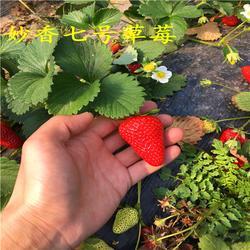 海之情(多图),牛奶草莓苗,牛奶草莓苗图片