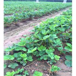 海之情农业、天香草莓苗、天香草莓苗出售图片