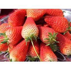 海之情-玉溪市草莓苗-奶油草莓苗供应图片