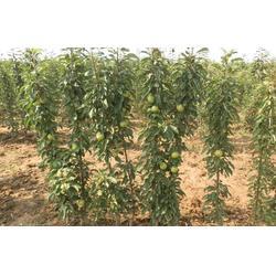 滨州苹果苗、海之情(在线咨询)、水蜜桃苹果苗多少钱一株图片