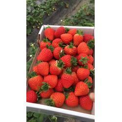 海之情农业|丰香草莓苗|丰香草莓苗报价价格