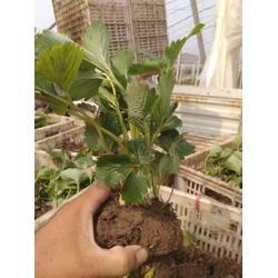 贵州草莓苗_海之情(在线咨询)_章姬草莓苗图片