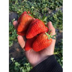 思茅市草莓苗,天仙醉草莓苗,海之情农业图片