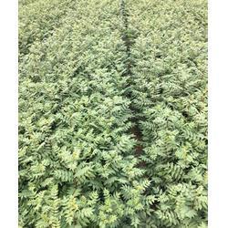 3米花椒苗、海之情农业(推荐商家)、3米花椒苗哪里卖
