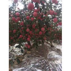 海之情(图)、红富士苹果苗、甘肃苹果苗图片