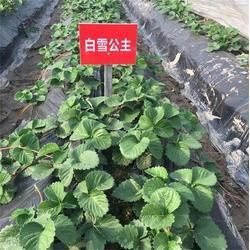 大地草莓苗,海之情农业,大地草莓苗出售图片