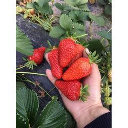 章姬草莓苗|海之情农业|章姬草莓苗基地图片