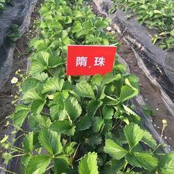 四季草莓苗厂家、四季草莓苗、海之情农业图片