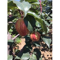 优质梨树苗,梨树苗,海之情农业(查看)图片