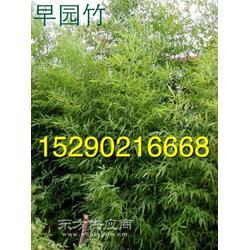 河南潢川大叶女贞 3公分紫薇 百日红 3公分栾树 4公分早园竹子图片