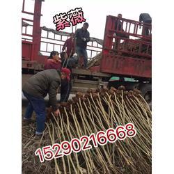 河南潢川卜集3公分栾树 3公分钢竹子农户直销图片