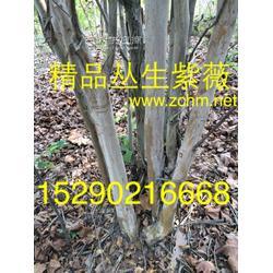 河南5公分紫薇 6公分丹桂 5公分早园竹子市场