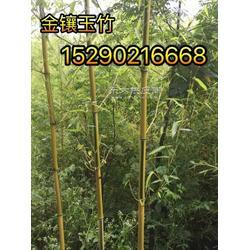河南6公分紫薇 5公分银桂 7公分金镶玉竹子
