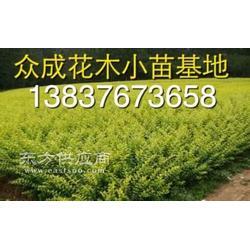 潢川30公分金叶女贞小苗1米金叶女贞球农户图片
