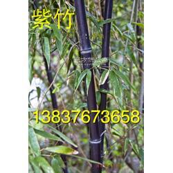 河南潢川卜集6公分紫薇 8公分丹桂 5公分紫竹子图片