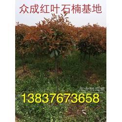 河?#31665;?#24029;卜集3公分栾树 金丝条 3公分钢竹子农户直销图片