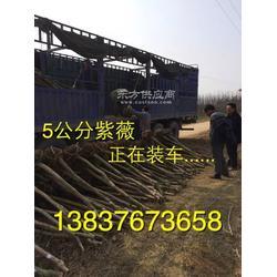 河南潢川卜集3公分紫薇  3公分刚竹  5公分水杉农户直销图片