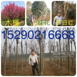 河南潢川 3公分木槿 百日红 4公分紫薇 3公分钢竹子农户直销图片