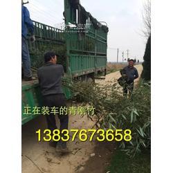 河南大叶女2公分紫薇 6公分木槿 栾树 2公分青钢竹子图片