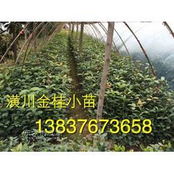 潢川1米桂花苗50公分高金桂苗市场图片