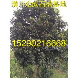 河南潢川迎春8公分紫薇 6公分9公分刚竹子市场