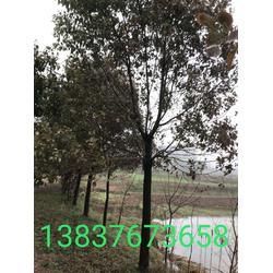 河南13公分香樟  10公分香樟农户  5公分紫薇图片