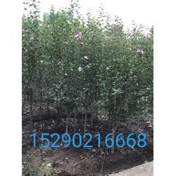 河南3公分木槿  2公分红花木槿工程苗  2公分竹子图片