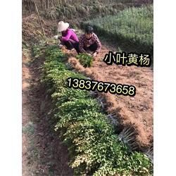 河南潢川3公分4公分5公分桂花  柏树  金边女贞森成苗圃图片